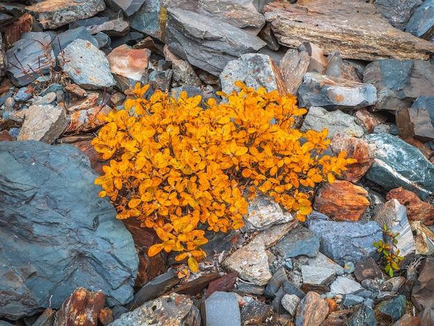 Arbusto de bétula anã amarela cresce nas pedras no outono. fechar-se.