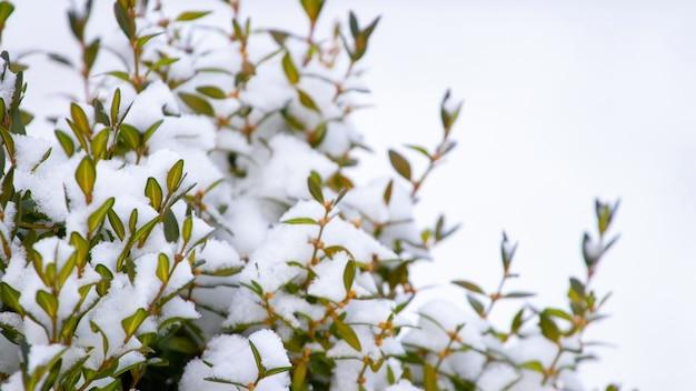 Arbusto de buxo coberto de neve com folhas verdes, buxo no inverno