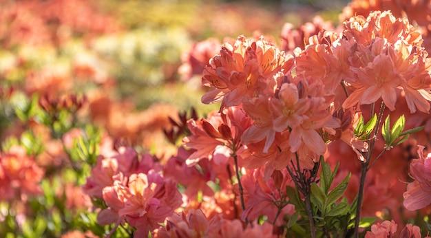 Arbusto de delicadas flores de laranja de azálea