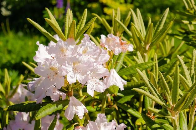 Arbusto de delicadas flores rosa de azaléia ou planta de rododendro em um jardim japonês ensolarado de primavera