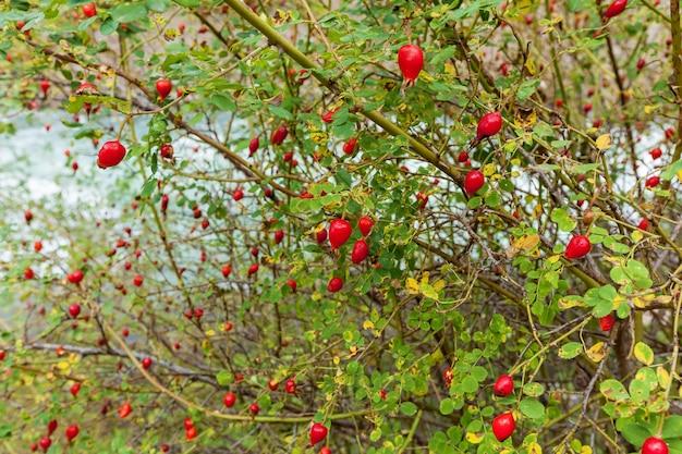 Arbusto de espinheiro com frutas vermelhas maduras