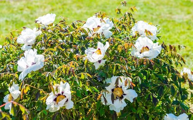 Arbusto de flor de peônia de árvore branca floresce em um arbusto verde à tarde.