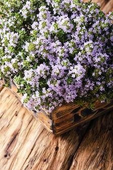Arbusto de floração de tomilho