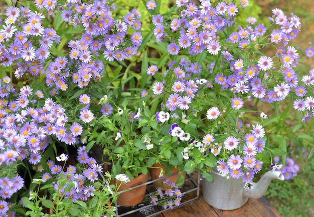Arbusto de flores de áster e vasos de flores no jardim