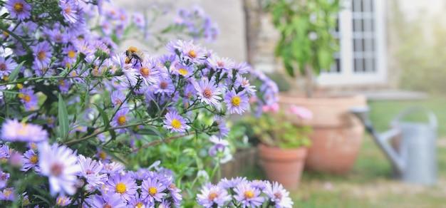Arbusto de flores de áster florescendo no jardim de uma casa rural