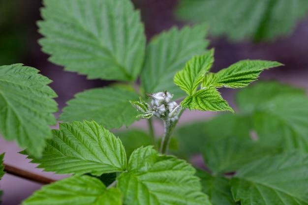 Arbusto de framboesa em folhas jovens de fundo natural no ramo de arbusto de framboesa em tempo nublado em s ...