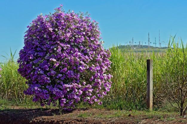 Arbusto de glória ou manaca da serra