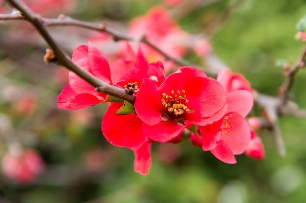 Arbusto de jardim com ramos de flores em rosa e vermelho