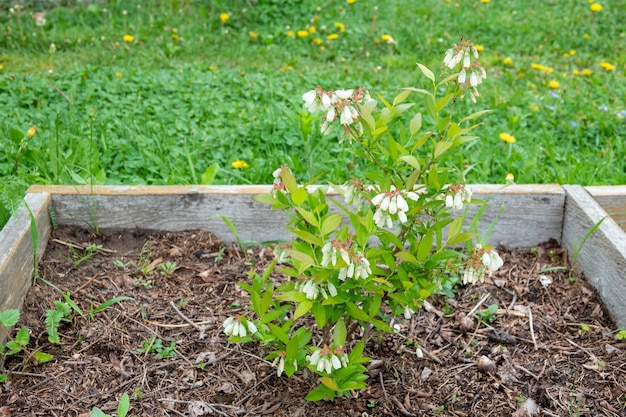 Arbusto de mirtilo em flor com um grande número de flores
