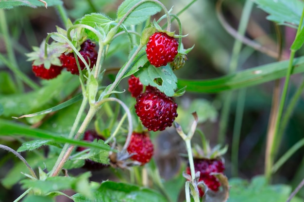 Arbusto de morango selvagem na floresta. morangos vermelhos, bagas e flores brancas em prado selvagem, close-up