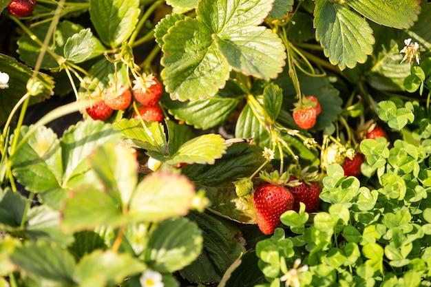 Arbusto de morango vermelho fresco