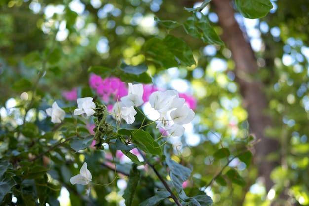 Arbusto de oleandro verde grande com flores cor de rosa e brancas