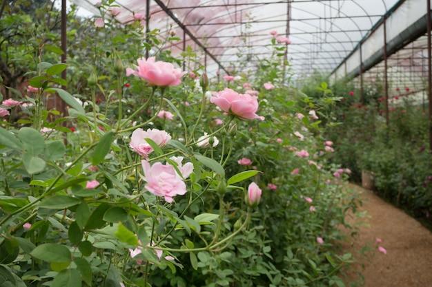 Arbusto de rosas cor de rosa no jardim