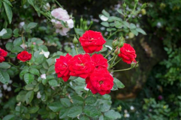 Arbusto de rosas vermelhas no jardim