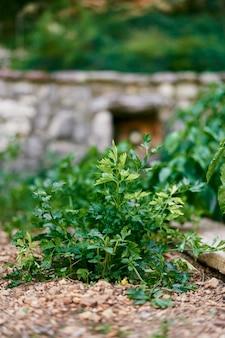 Arbusto de salsa verde crescendo no chão