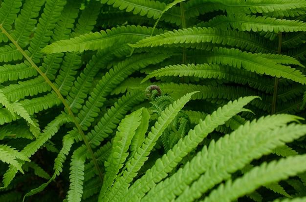 Arbusto de samambaia com folhas verdes na floresta ou no close up do jardim botânico. fundo bonito feito com folhas verdes jovens de samambaia.
