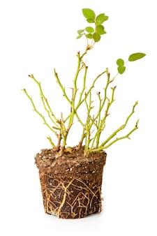 Arbusto de uma rosa decorativa com raízes isoladas no fundo branco
