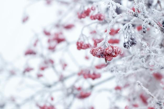 Arbusto de viburnum com ramos e frutos vermelhos cobertos de geada