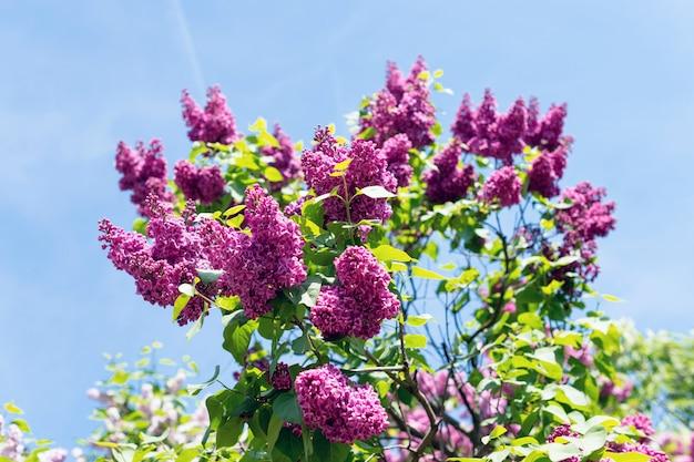 Arbusto em forma de coração de lilases florescendo