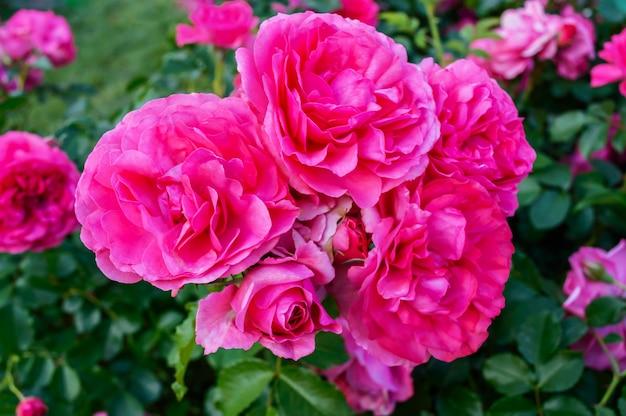 Arbusto exuberante de rosas cor de rosa brilhantes sobre um fundo de natureza. jardim de flores. fechar-se