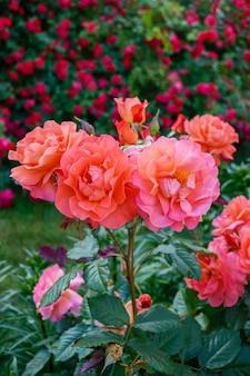 Arbusto exuberante de rosas cor de rosa brilhantes sobre um fundo de natureza. jardim de flores. visão vertical.