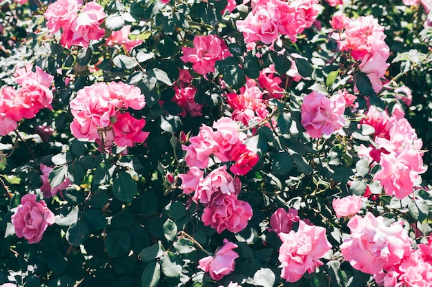 Arbusto exuberante de rosas cor de rosa em um dia ensolarado de verão