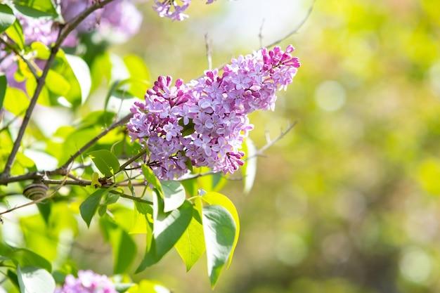 Arbusto lilás vibrante violeta com botões florescendo no jardim primavera.