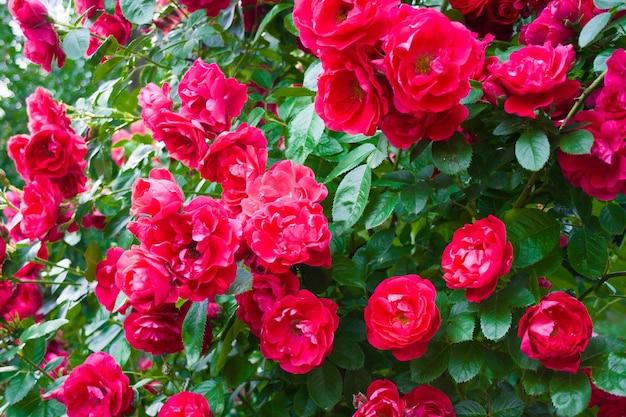 Arbusto rosa com flores rosa desabrochando e folhas verdes em um dia ensolarado de verão