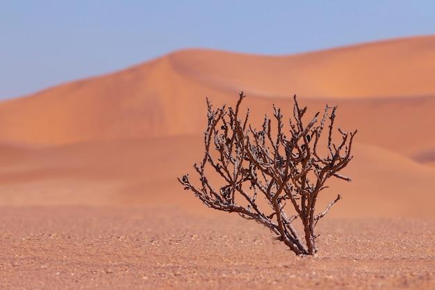 Arbusto seco solitário em um fundo de areias douradas no deserto do namibe