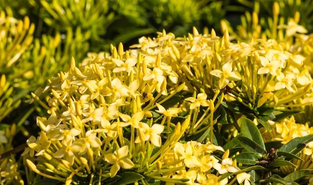 Arbusto tropical com flores amarelas