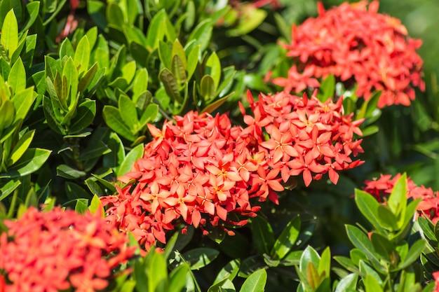 Arbusto tropical com flores vermelhas