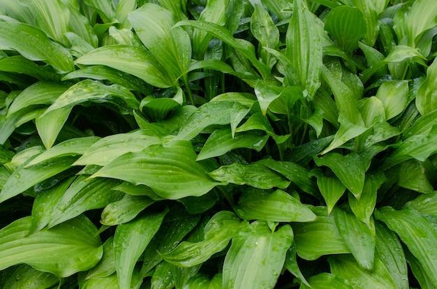 Arbusto verde de hosta com belas folhas no verão. planta decorativa para jardim. conceito de vida verde. imagem de fundo da natureza.