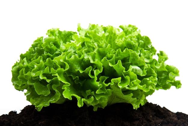 Arbusto verde de salada em leito de húmus isolado