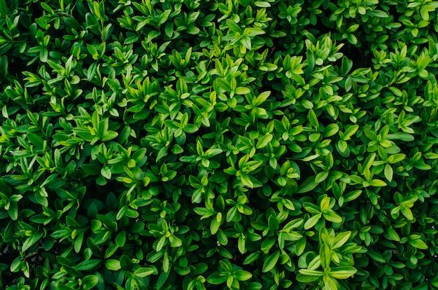 Arbusto verde fresco agradável deixa fundo de textura closeup