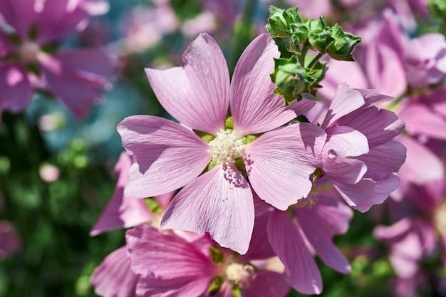 Arbustos com lindas flores cor de rosa perto da casa. jardinagem e floricultura