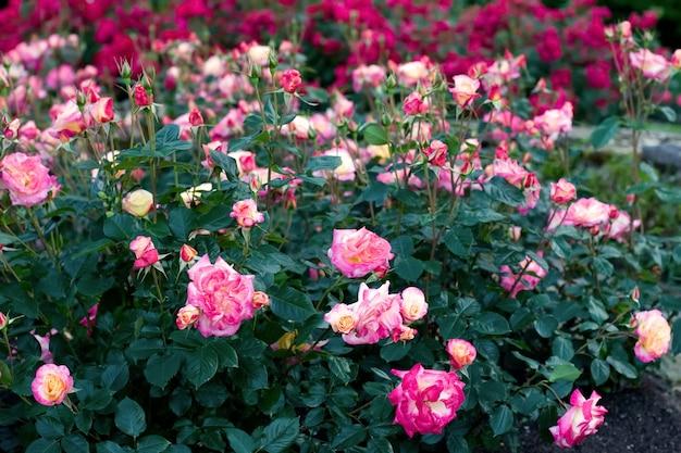 Arbustos com lindas rosas desabrochando flores vermelhas e rosa