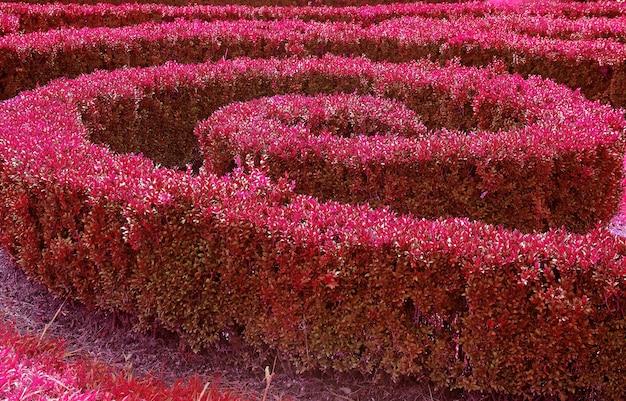 Arbustos cortados em forma de espiral ornamentais de cor magenta no jardim