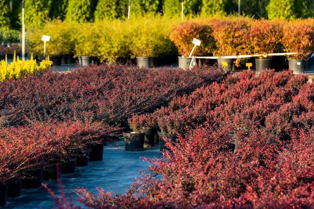 Arbustos de barberry para paisagismo e plantados em banheiras ao ar livre no centro de jardinagem
