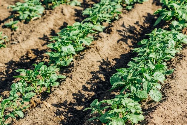 Arbustos de batata no jardim nas camas