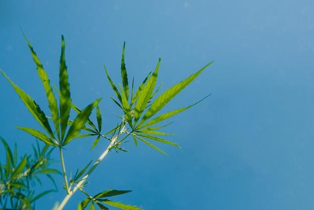 Arbustos de cânhamo, maconha, folhas, céu azul, canábis, fundo abstrato