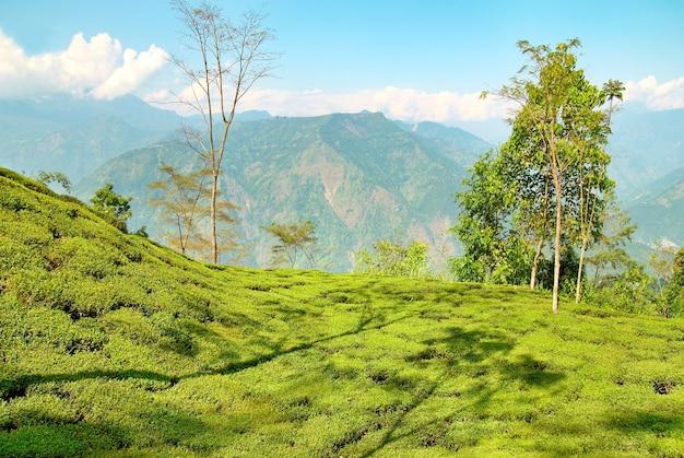 Arbustos de chá verde em plantação em darjeeling, índia
