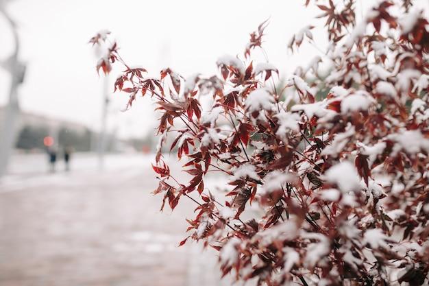 Arbustos de cor vermelha cobrem com neve em um parque de inverno. conceito de natureza.