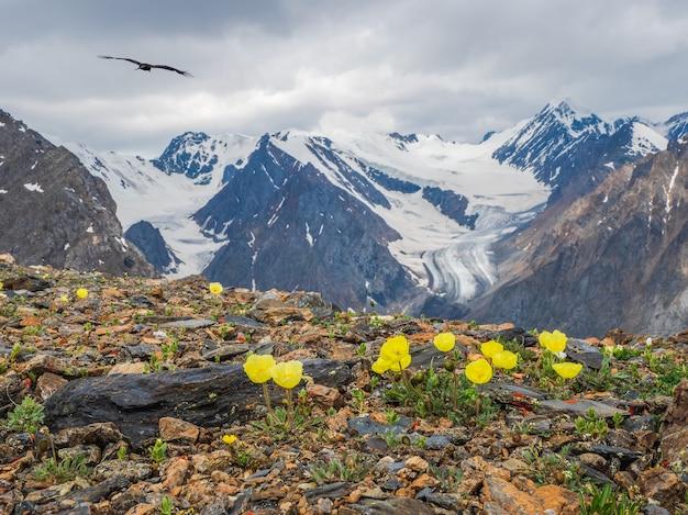 Arbustos de flores de papoula amarelas exuberantes no fundo do grande glaciar e altas montanhas de neve.