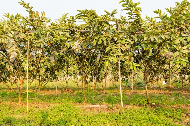 Arbustos de goiabeira