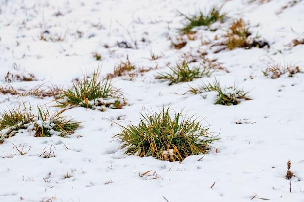 Arbustos de grama verde cobertos de neve, grama sob a neve