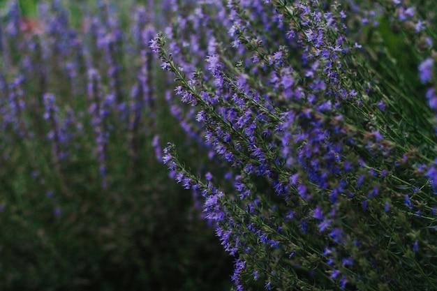Arbustos de hissopo com flores azuis e roxas