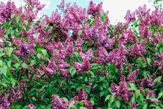 Arbustos de lilases exuberantes florescendo lilases na primavera contra o céu.