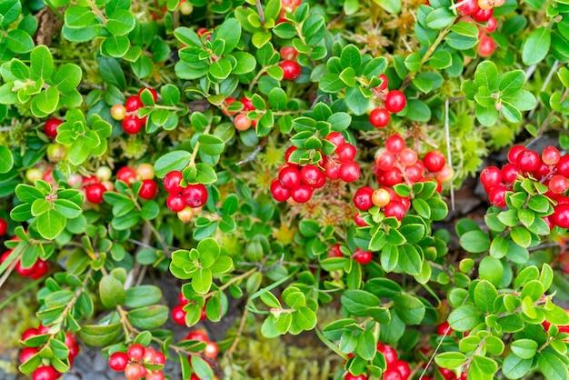 Arbustos de lingonberry na floresta.