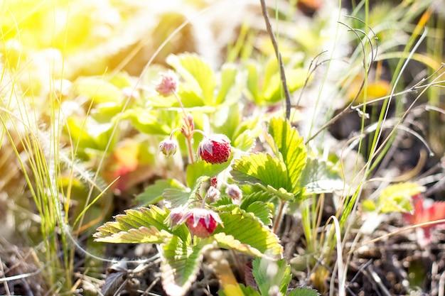 Arbustos de morango com bagas close-up, produto saudável natural