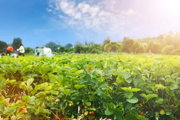 Arbustos de morango no campo de morango em uma fazenda